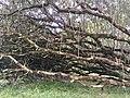 New Life from a Fallen Tree (29849825777).jpg