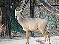 Nilgai Deer in Nehru Zoo, Hyderabad.jpg