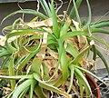 Niveophyllum caeruleum 1.jpg