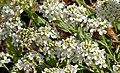 Noccaea montana, Berg-Täschelkraut, Brassicaceae 02.jpg