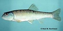 Nocomis leptocephalus.jpg