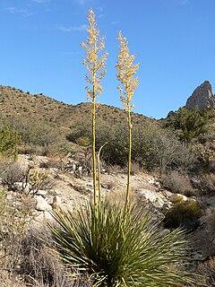 <i>Nolina bigelovii</i> species of plant