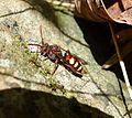 Nomada sp. (N. panzeri^^) - Flickr - gailhampshire.jpg