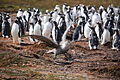 Northern Giant Petrel walks by a Gentoo Penguin colony (5751680618).jpg