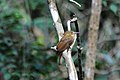 Northern Royal Flycatcher (Onychorhynchus mexicanus), Belize.jpg