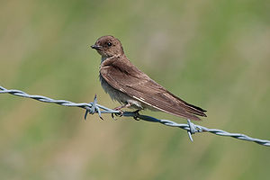 A northern rough-winged swallow eating a bug