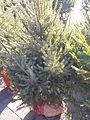 Novogodisnja Jelka-Christmas Tree 4.JPG