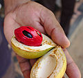 Nutmeg fruit with kernel and mace.jpg