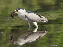 Nycticorax nycticorax (with fish).jpg