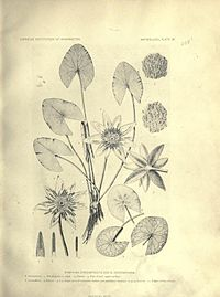 Nymphaea gardneriana