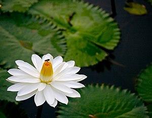 Nymphaea lotus - Image: Nymphaea lotus 1XMATT