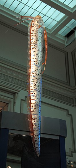 Oarfish smithsonian.JPG