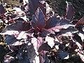 Ocimum basilicum Васильки справжні фіолетові - сорт LS 2712.jpg