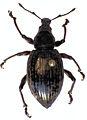 Oclandius cinereus.jpg