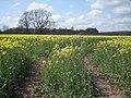 Oilseed Rape in bloom - geograph.org.uk - 767660.jpg