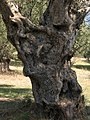 Olive tree, ancient acropolis of Sparta - panoramio.jpg