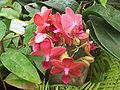 Ongeïdentificeerde orchidee2.jpg