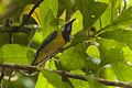 Orange-bellied Leafbird - Malaysia MG 6845 (16864640558).jpg
