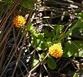 Orange Milkwort (Polygala lutea) (39002840891).jpg