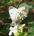 Orange Tip. Anthocharis cardamines. Female - Flickr - gailhampshire.jpg