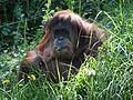 Orangutan CincinattiZoo.jpg