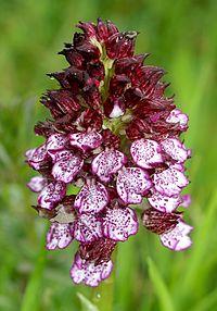 Orchis purpurea Spanien Orchi 361.jpg