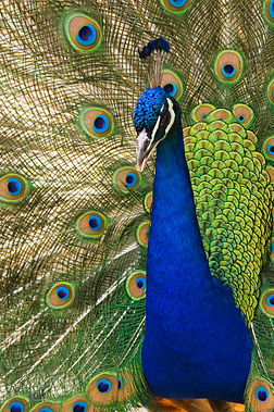 Oregon zoo peacock male.jpg