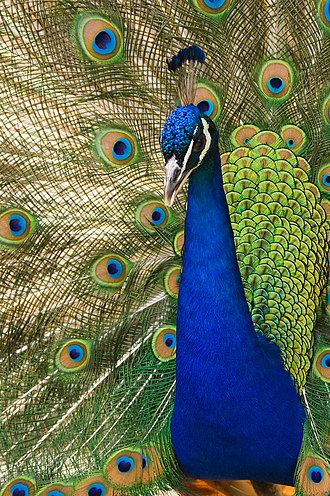 The Genetical Theory of Natural Selection - The peacock plumage is a classic example of the hypothesized Fisherian runaway.