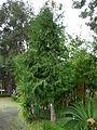 Oregoni hamisciprus2.jpg