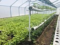 Organic Strawberry Greenhouse in Byurakan, Armenia 01.jpg