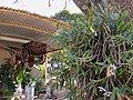 Orquídeas no Engenho Santo Mário em Catanduva. O local é ponto turístico da região, com a venda de bebidas artesanais, garapa e doces artesanais. A visita no antiquário nos remete aos tempos antigos. - panoramio.jpg
