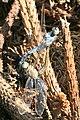 Orthetrum brunneum copula Weinsberg 20080802.jpg