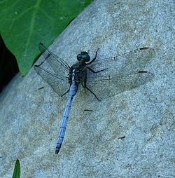 Orthetrum julia capicola male 1.JPG