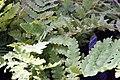 Osmunda claytoniana 17zz.jpg