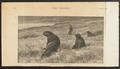 Otaria forsteri - 1889 - Print - Iconographia Zoologica - Special Collections University of Amsterdam - UBA01 IZ21100089.tif