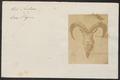 Ovis nahoor - kop - 1700-1880 - Print - Iconographia Zoologica - Special Collections University of Amsterdam - UBA01 IZ21300095.tif