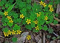 Oxalis stricta yellow wood sorrel.jpg