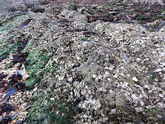 Oyster - Rocks in intertidal zone covered by oysters, at Bangchuidao Scenic Area, Dalian, Liaoning Province, China
