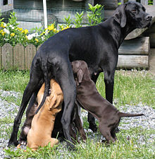Solid black Pointer female and puppies