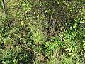 PP Netřebská slaniska, chřest lékařský (Asparagus officinalis).JPG