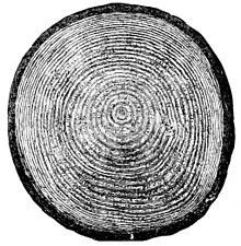 Growth ring simple english wikipedia the free encyclopedia growth rings ccuart Images