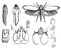 PSM V05 D148 Larvae and the moth.png