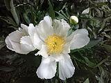 Paeonia-lactiflora-chinese-peony-0a.jpg