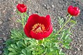 Paeonia peregrina kz01.jpg