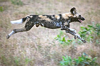 Persistence hunting - African wild dogs run down their prey over long distances at moderate speed.