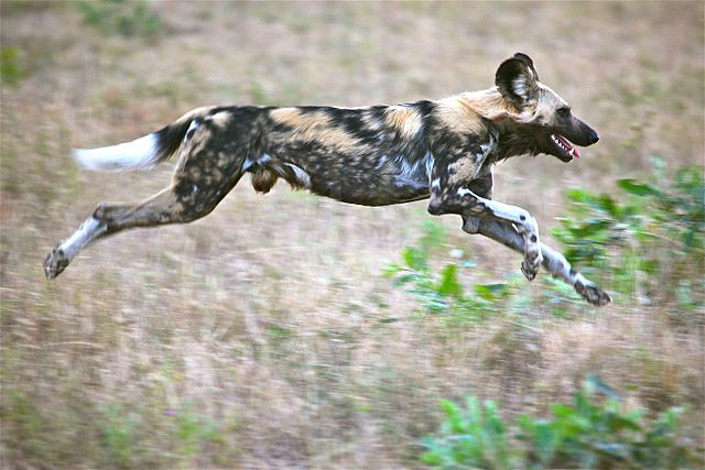African wild dogs run down their prey over long distances at moderate speed.