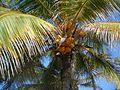 Palm tree in Varadero.jpg