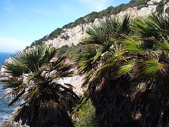 Parco Nazionale del Circeo - Mediterranean fan palms in the southern slopes of Mount Circeo.
