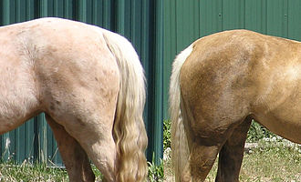Cream gene - Cream dilutions may have seasonal color variation between winter and summer coats, as seen in this palomino
