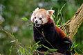 Panda Lunch In The Rain (24222180803).jpg